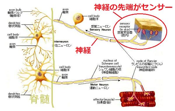 痛みを伝える神経の仕組み