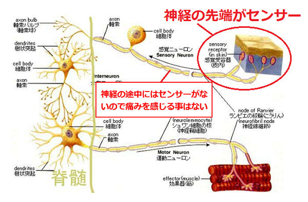 痛みを伝える神経のメカニズム