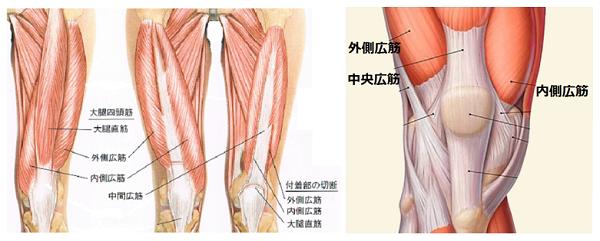 膝痛の原因は筋肉です。