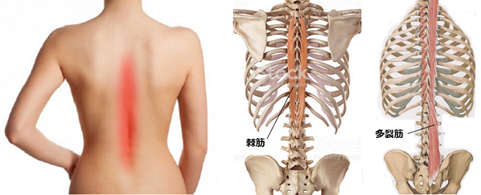 背骨の筋肉